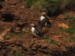 Puffins in Elliston